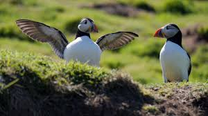 puffins seabirds nest in st john u0027s newfoundland every summer
