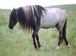 Black Mustang Horse Pictures The Spanish Mustang A Breed Of Many Colors