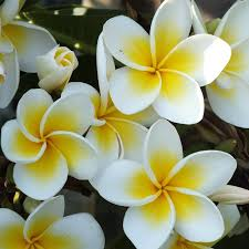Fragrant Potted Plants - plumeria plant select yellow and whites fragrant potted plant