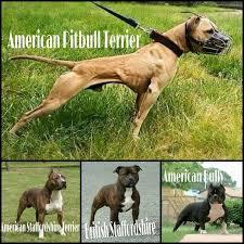 american pit bull terrier registry ripoff report american pit bull registry pit bull registration