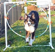 australian shepherd jumping starting agility training