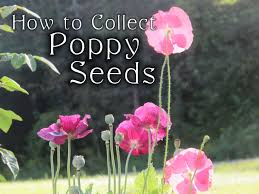 Poppy Flower Garden by Collecting Poppy Seeds Fall Gardening Chores