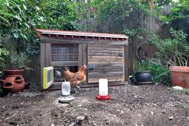 Chicken In Backyard One Family U0027s Story Keeping Chickens In La Apartment Therapy
