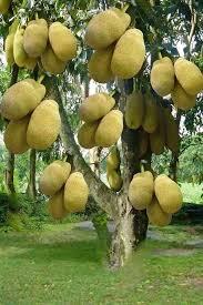 Palm Trees Fruit - jackfruitsfruits plants pinterest jack fruit fruit trees