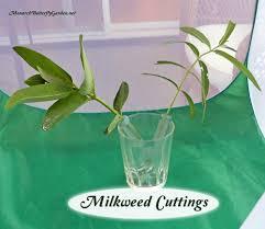 Floral Picks 5 Ways To Serve Monarch Caterpillar Food Milkweed Cuttings