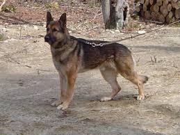 belgian shepherd x mastiff malinois german shepherd cross dog and cat