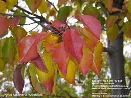 pyrus calleryana aristocrat ellenby tree farm