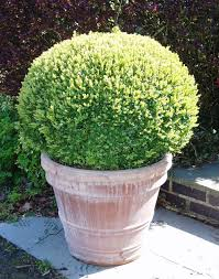 Topiary Planters - topiary balls gallery u2014 crown topiary