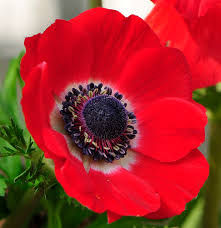 anemone plant planting bulbs anemones with
