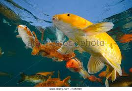 ornamental fish stock photos ornamental fish stock images alamy
