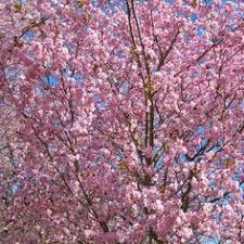 japanese cherry blossom tree prunus ukon available from www