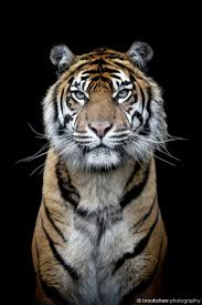 best 25 tiger images ideas on pinterest tiger pictures tiger