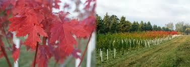 Live Topiary Tree - plants beautiful nursery minnesota live topiary trees and