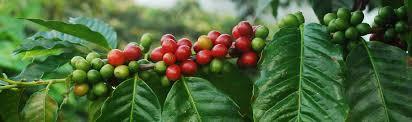 native plants in the amazon rainforest species profile coffee coffea spp rainforest alliance