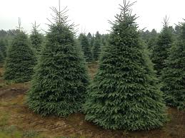 10 12ft black spruce wholesale tree inc