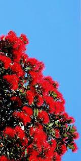 native new zealand plants list 93 best pohutukawa new zealand u0027s christmas tree images on