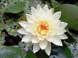 Lily Plant Nymphaea Odorata Wikipedia