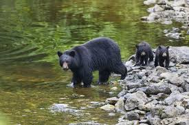 Montana wild animals images Seven montana black bears euthanized after being fed by local resident jpg