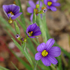 deer resistant native plants blue eyed grass sisryrinchium montanum deer resistant maine