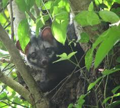 asian palm civet wikipedia
