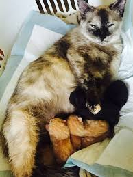 cats afterpains i think my cat is right near the end of her pregnancy but thecatsite