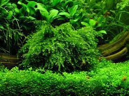 coral moss riccardia chamedryfolia that scape pinterest