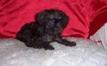 affenpinscher dogs for sale toronto gta affenpinscher dogs puppies for sale classifieds