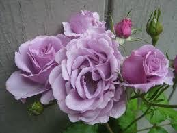may roses alicia u0027s roses