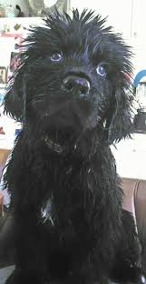 affenpinscher reviews 1182 best 6 beestenboel images on pinterest newfoundland dogs