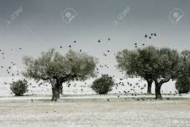 olive trees in a land and a flock of birds flying away while stock