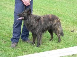 belgian sheepdog height vandalia kennel dutch shepherds what is a dutch shepherd