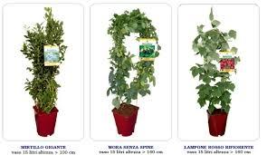mirtillo in vaso piante in vaso di piccoli frutti di bosco mirtilli loni more