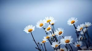 white daisies flowers hd desktop wallpaper high definition