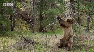 bears dancing to jungle boogie planet earth ii youtube