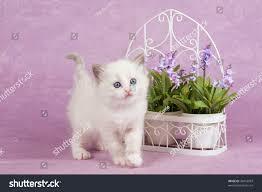 cute ragdoll kitten lavender flowers trellis stock photo 38416993