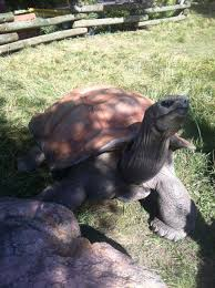 the most amazing tortoise ever barnaby at blank park zoo