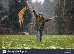 belgian shepherd victoria dog playing snow stock photos u0026 dog playing snow stock images alamy