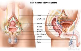 Female Abdominal Anatomy Pictures Androgen Insensitivity Syndrome Genetics Home Reference