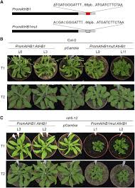 218 best native plants images on p a uorf represses the transcription factor athb1 in aerial tissues