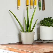 Plant For Bedroom Buy Plants For The Bedroom Online Patch
