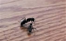 the march of the carpenter ants endless forms most beautiful