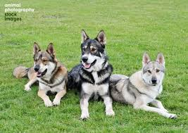 belgian shepherd x alaskan malamute animal photography blog sharing images of cats dogs horses