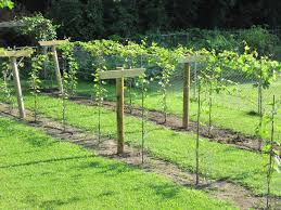 build grape trellis growing grapes in my vineyard finished trellis