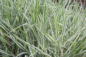 amazing varieties of ornamental grasses enlisted just for you