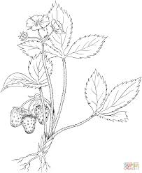 virginia strawberry or wild strawberry coloring page free