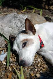 bichon frise jack russell cross temperament jack russell terrier dogs breed information omlet