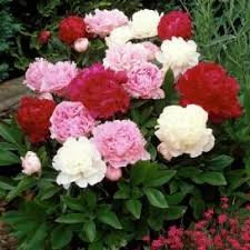 Peonies For Sale The 25 Best Peony Bulbs Ideas On Pinterest Spring Flowers