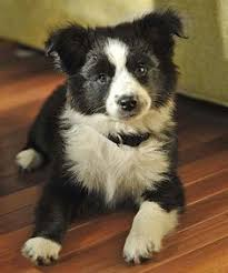 bearded collie and border collie mix german shepherd u0026 border collie mix info and 15 photos animalso