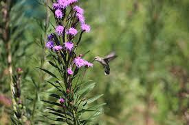 prairie moon nursery hummingbird on liatris spp http www prairiemoon com liatris