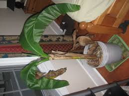 plants impressive indoor banana plant dying ornamental